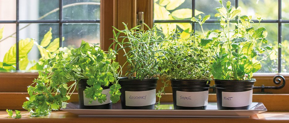 Herb pots growing on windowsill