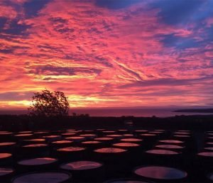 Whisky barrels at sunset in Arbikie