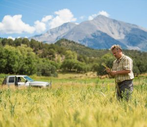 A man picks barley by a mountain in Marble Distillery in Colorado